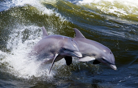 Bottlenose dolphins on the Wales Coast Path