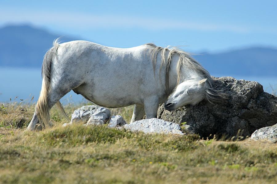 St Davids pony