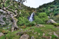 Twisted hawthorns frame the Aber Falls, in North Wales