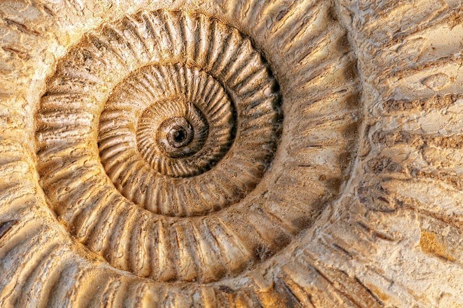 Jurassic ammonite fossil