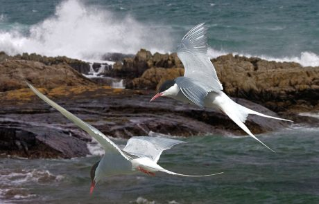 Wales Coast Path: Arctic terns, Isle of Anglesey