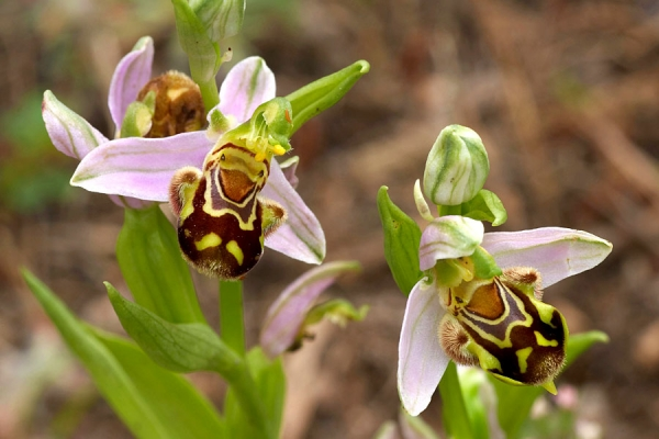 Bee orchids at Conwy