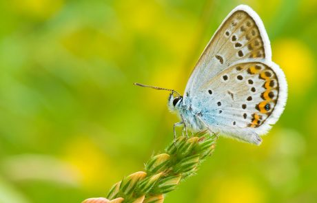 Wales Coast Path: common blue butterfly