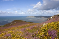 Heather and gorse on Conwy Mountain