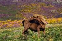 Semi-wild pony on Conwy Mountain