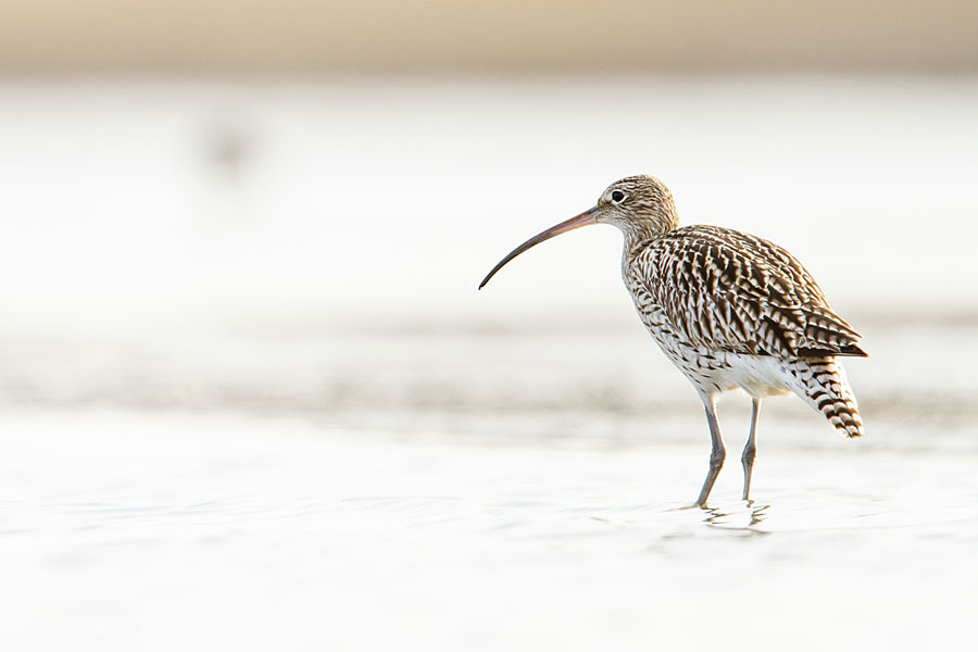 Curlew at Conwy RSPB reserve