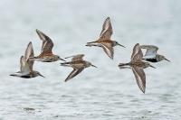 Dunlin in flight