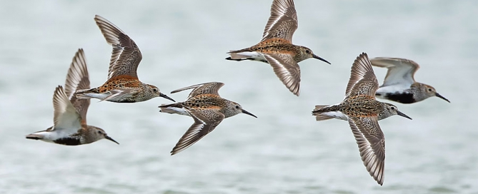 Dunlin in flight