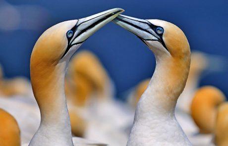 Wales Coast Path: gannets