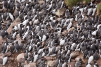 Guillemots crowd onto the nesting ledges on South Stack