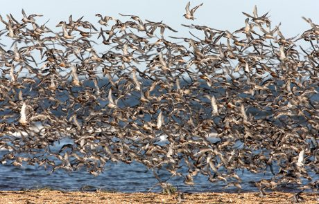 Wales Coast Path: huge flock of knot