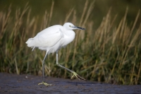 Little egret at RSPB Conwy