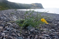 Horned poppy on the beach at Porth y Nant, Llyn