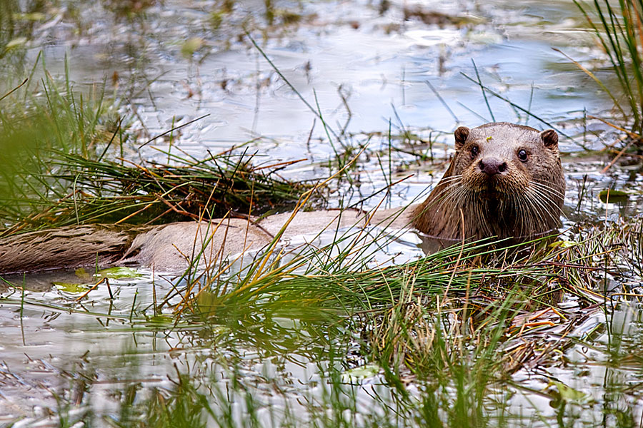 Otter at RSPB Conwy