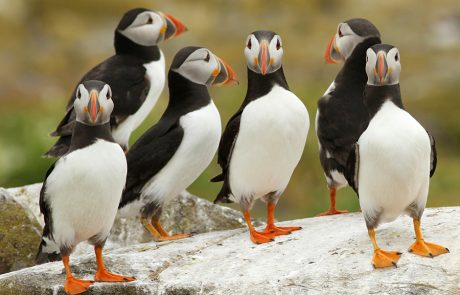 Wales Coast Path: puffins, Pembrokeshire