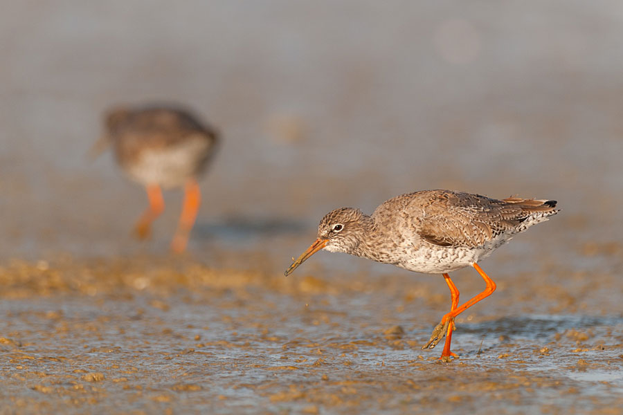 Redshank at RSPB Conwy reserve