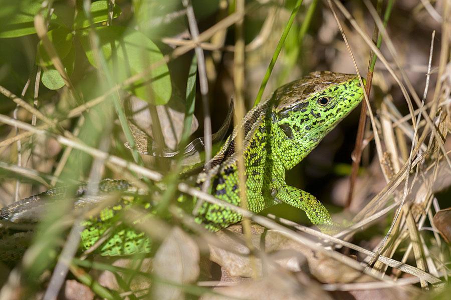 Sand lizard in Harlech dunes NNR