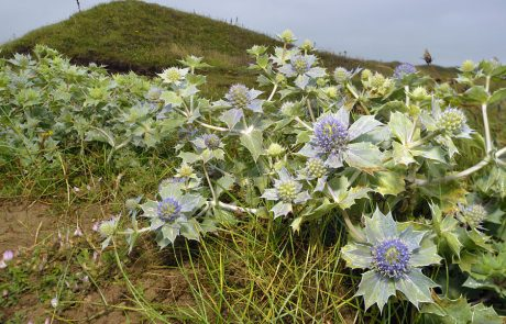 Wales Coast Path: sea holly