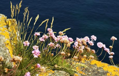 Wales Coast Path: sea pinks, or
