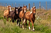 Ponies on St Davids Head, Pembrokeshire