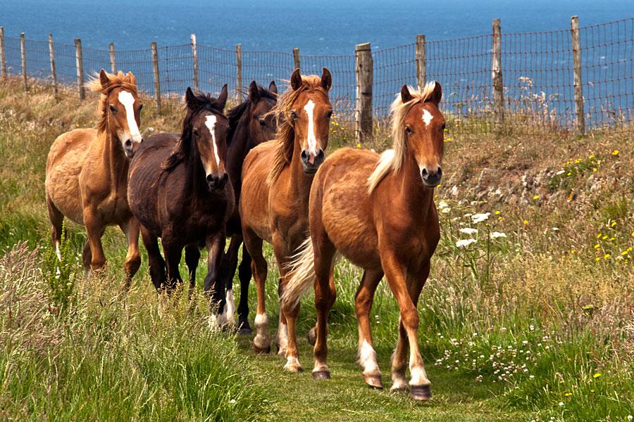Ponies on St Davids Head, Pembrokeshire